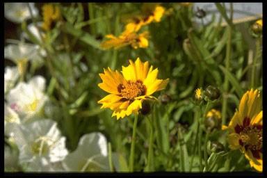 Coreopsis grandif. 'Sonnenkind