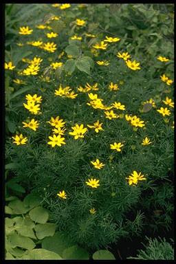 Coreopsis vert. 'Grandiflora'