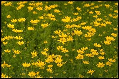 Coreopsis vert. 'Zagreb'