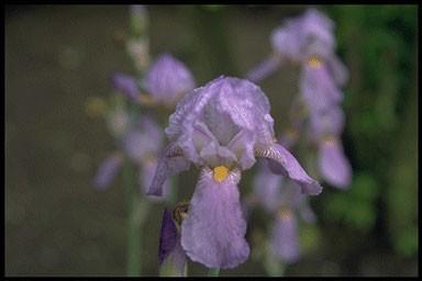 Iris germ. 'Susan Bliss'