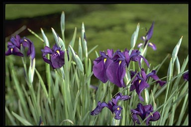 Iris kaempferi 'Variegatus'