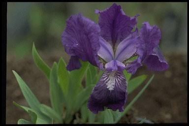 Iris pumila 'Cyanea'