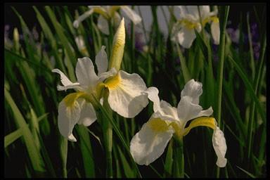 Iris sanguinea 'Snow Queen'