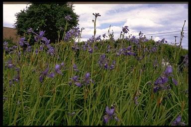 Iris sibirica 'Blue King'