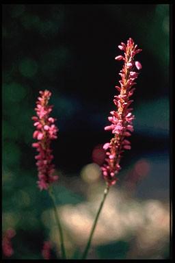 Persicaria amplexicaulis 'JS Caliente'
