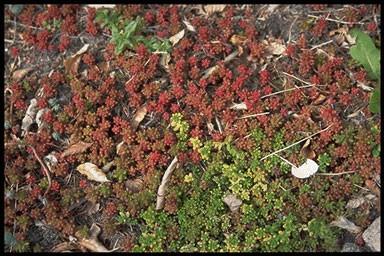 Sedum album 'Coral Carpet'