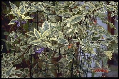 Solanum dulcamara 'Variegatum'