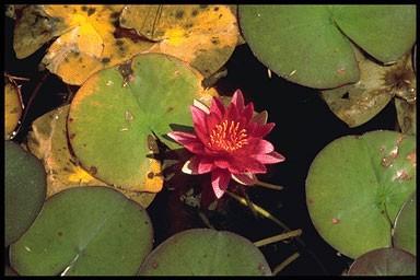 Nymphaea 'Laydekeri purpurata'