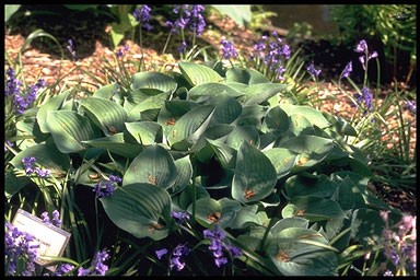 Hosta 'Blue Cadet' P11