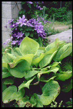 Hosta 'Sum and Substance' P11