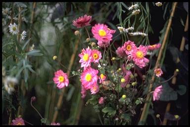 Anemone hybrida 'Pamina'
