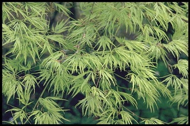Acer palm.'Dissectum Flavescens'
