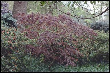 Acer palmatum 'Oshio-beni'