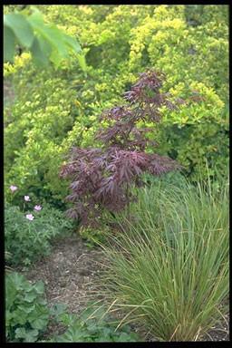 Acer palmatum 'Rigasii'