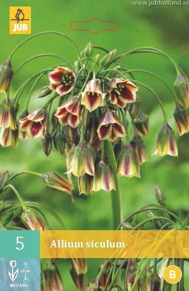 Allium 'Nectaroscordum'