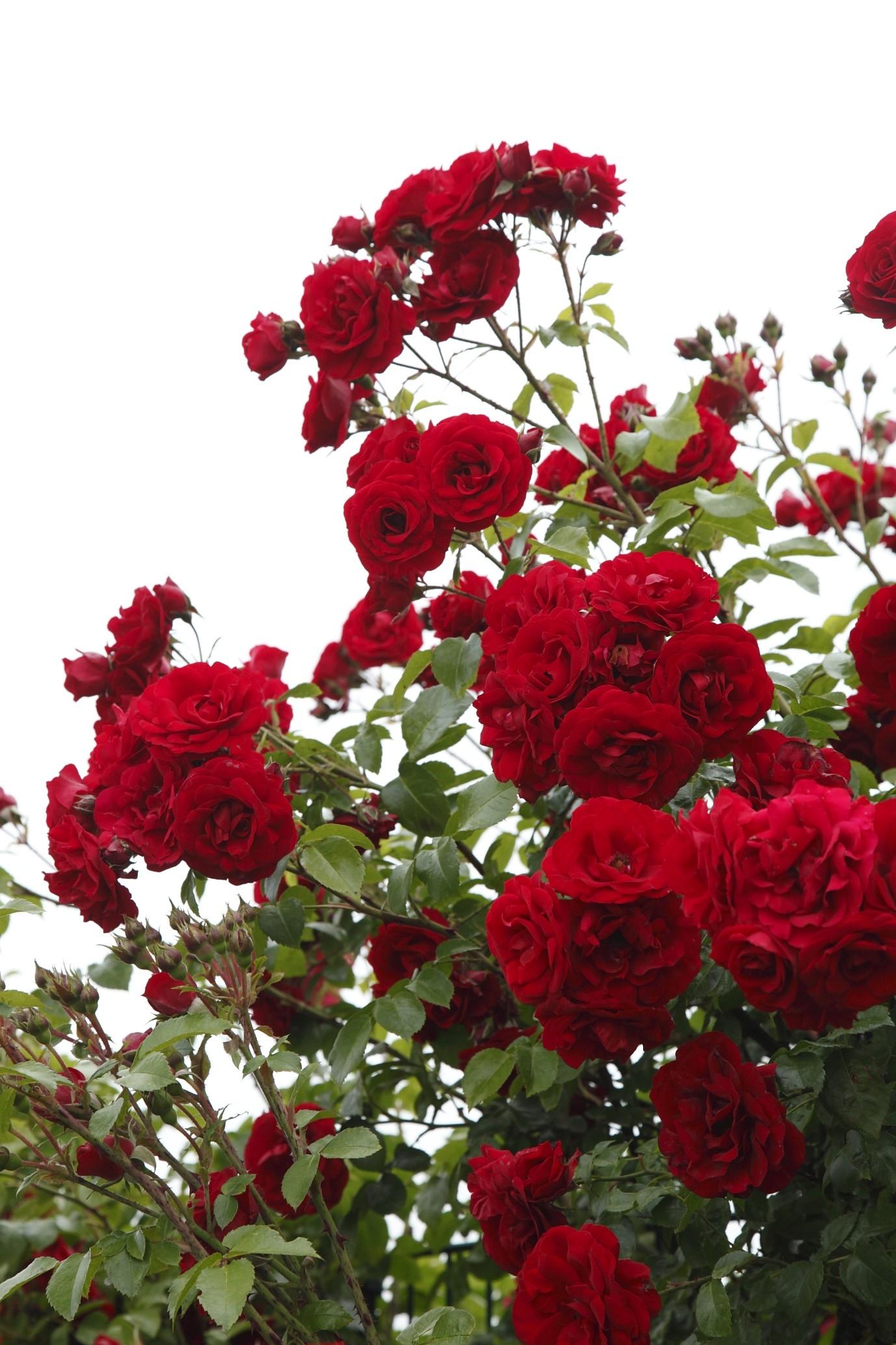 Rosa 'Amadeus'
