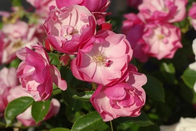 Rosa 'Angela'