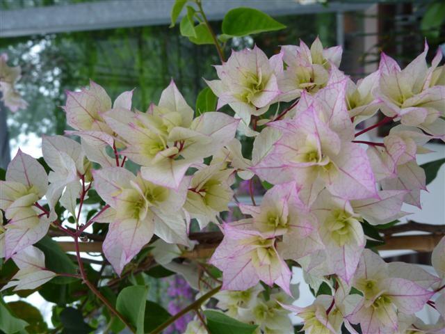 Bougainvillea buttiana hybride