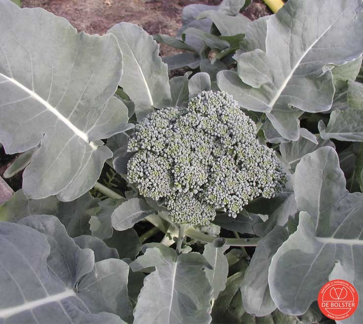 Broccoli Groene Calabrese