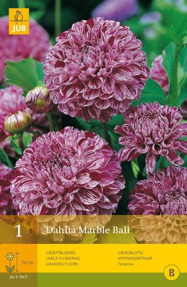 Dahlia 'Marble Ball'