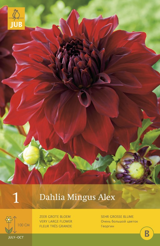 Dahlia 'Mingus Alex'