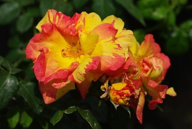Rosa 'Fidji'