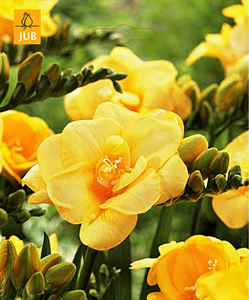 Freesia dubbel geel
