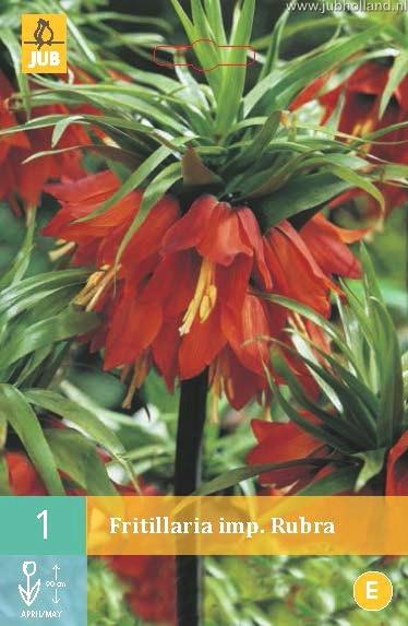 Fritillaria imp. Rubra