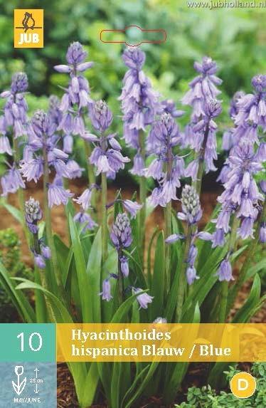 Hyacinthoides hispanica 'Blue'