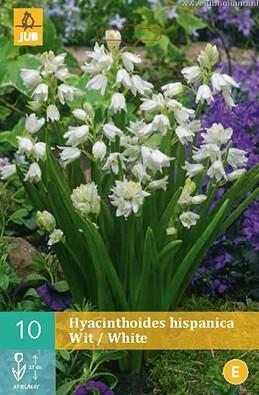 Hyacinthoides hispanica 'White'
