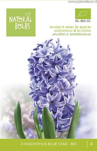 Hyacinthus 'Blue Star' biologisch