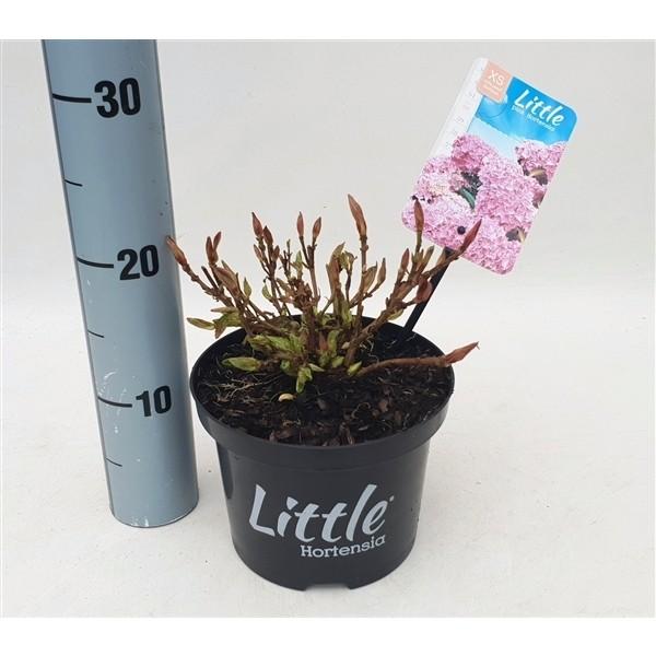 Hydrangea macrophylla Little Pink