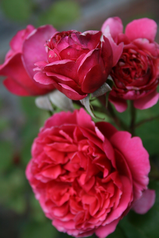 Rosa 'Line Renaud'