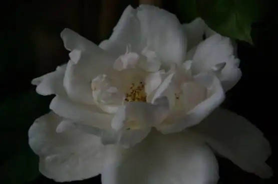 Rosa  'Mme Alfred Carrière'