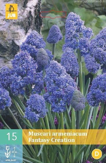Muscari armeniacum 'Fantasy Creation'