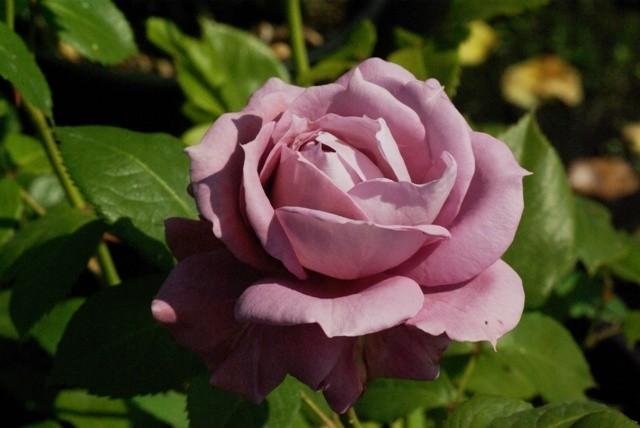 Rosa 'Novalis'