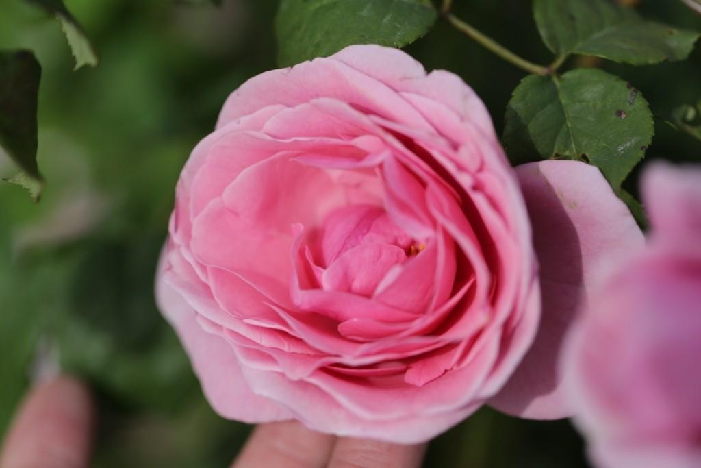Rosa 'Princesse Claire de Belgique'