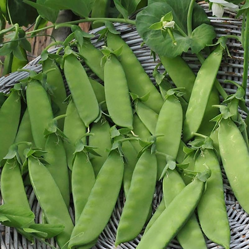 Rijspeul 'Hendriks' – Pisum sativum