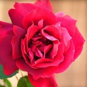 Rosa 'Etoile de Hollande'
