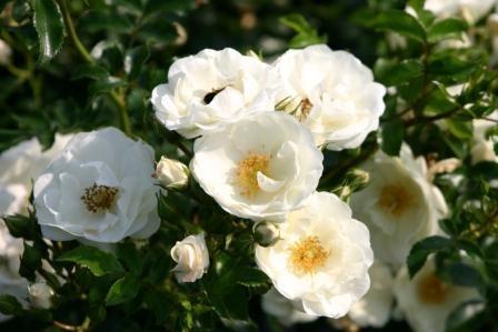 Rosa 'Innocencia'