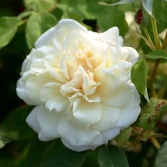Rosa 'Madame Alfred Cariere'