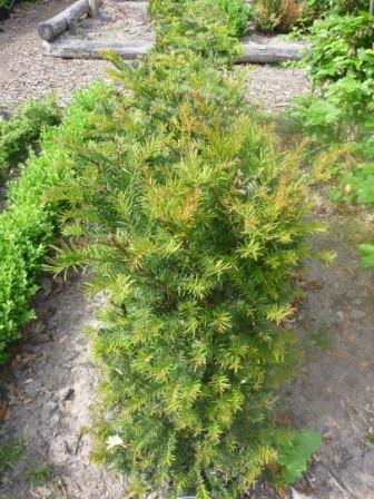 Taxus Baccata (Venijnboom)