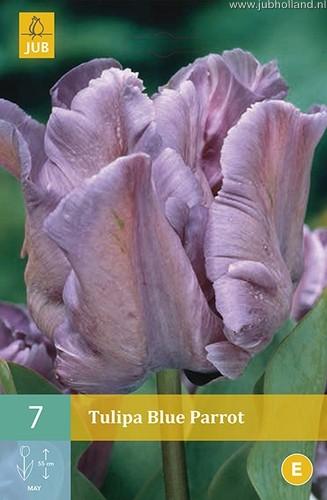 Tulipa 'Blue Parrot'