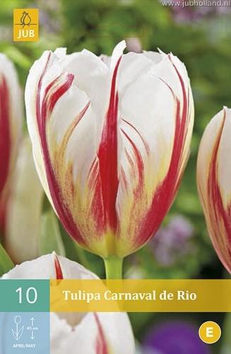 Tulipa 'Carnaval de Rio'