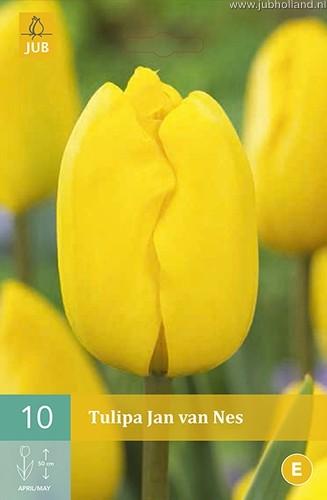 Tulipa 'Jan van Nes'