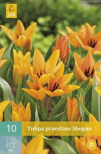 Tulipa 'Praestans Shogun'