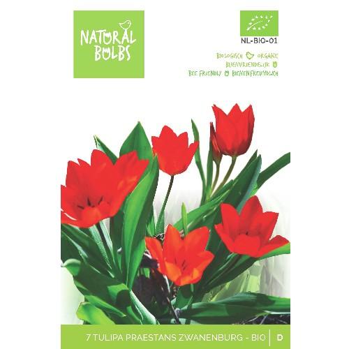 Tulipa praestans 'Zwanenburg' biologisch