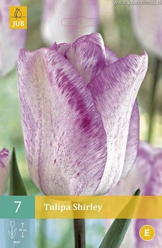 Tulipa 'Shirley'