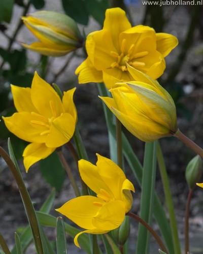 Tulipa 'Sylvestris'