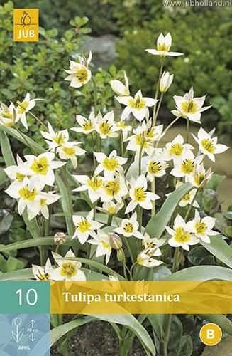 Tulipa 'Turkestanica'